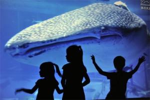 """أطفال يابانيين مع """"قرش الحوت"""" في حوض أكيناوا"""