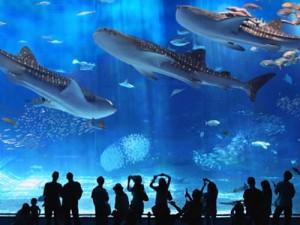حوض أكيناوا من الأحواض القليلة عالميا المسموح لها بضم قرش الحوت..